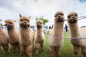 Canterbury A and P Show